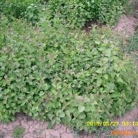紫丁香品相好!油松,樟子松,杨柳金叶榆