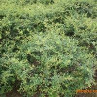 供应绿化苗木----火棘球