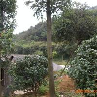 大量供应绿化乔木--截杆一年香樟(大叶樟)