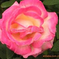 供应 大批量 各类各色系月季 玫瑰种苗含营养钵袋