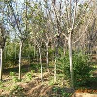 供应 绿化乔木 樱花