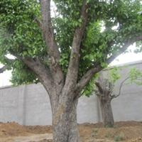 园林绿化工程山庄绿化工程道路绿化用大型古树海棠树海棠果