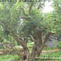 枣庄万亩石榴园石榴树 大型石榴树绿化树古石榴树绿化风景大石榴