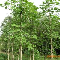 供应优质绿化苗木  乔木  马褂木