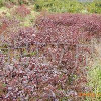 供应优质绿化苗木 红继木