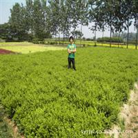大量供应小叶黄杨