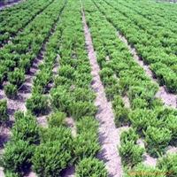 金宏绿化苗木场供应龙柏 规格齐全 欢迎选购