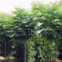 供应绿化苗木 栾树 5-8公分