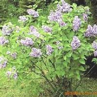 供应绿化苗木从生紫丁香 独干丁香 嫁接丁香