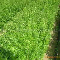 长期大量供应花灌木水蜡50厘米-60厘米高的水蜡