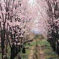 长期大量供应河北花灌木紫叶李,5公分紫叶李