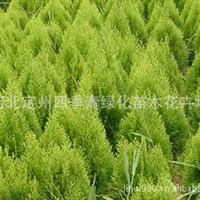 长期大量供应绿化苗木侧柏1米-1.5米高的侧柏