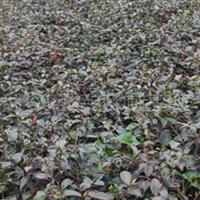 供应高20公分的茶梅秧苗