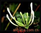 供应巨花一号木本树形高产价高金银花种苗