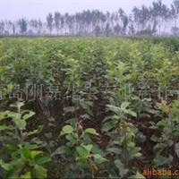 长期供应多种规格齐全的苹果树苗