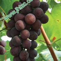 【市级科技示范户】厂家直销供应优势巨玫瑰葡萄苗木