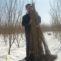 栽上大果榛子树 一次投入50年受益