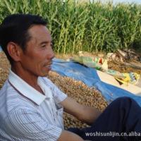 杂交大榛子  每亩收入1.5万——2万元