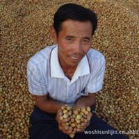 适合新疆地区栽植的果树  大榛子树 耐寒 耐贫瘠果树