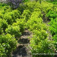 金边黄杨球  绿化苗木