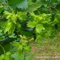 大榛子树【抗寒果树】在黑龙江、新疆零下40℃极寒地区仍可越冬