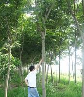 湖北武汉木兰湖 栾树