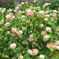 红花三叶草,白三叶苗坪,狗牙根草坪,四委青草坪