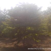 河北省保定市园林苗木出售1-15灯台树及各种苗木花卉