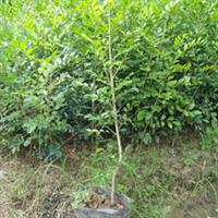 九里香绿化树苗,适合路边庭院种植