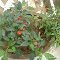 吊�柳,五彩椒,鼠尾草,薰衣草等的�N草花