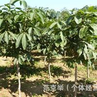 大量出售3-5CM七叶树/泰安绿化苗木乔木七叶树