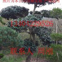 供应造型构骨、古桩盆景、苏州绿化工程、造型树