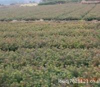 主产闻名全国的陈山红心杉