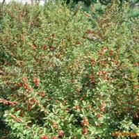 供应樱桃树