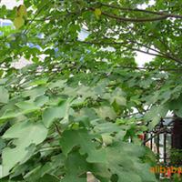 构树,构树价格,构树供应商,构树厂家