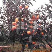低价大量供应各种规格的优质柿树苗