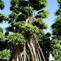 榕树--76号