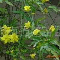 强盛苗圃 供应各种 绿化苗木 迎春花