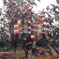 低价大量供应各种规格的柿树苗