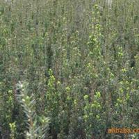 供应曼地亚红豆杉苗床四年小苗