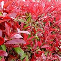 德昌苗木供应红叶石楠-红叶石楠扦插苗