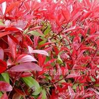 德昌苗木基地供应红叶石楠-红叶石楠扦插苗