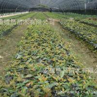 德昌苗木基地供应绿化苗木红叶石楠 红叶石楠扦插苗