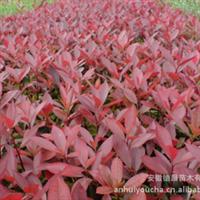 供应耐低温,耐土壤瘠薄红叶石楠-红叶石楠-红叶石楠