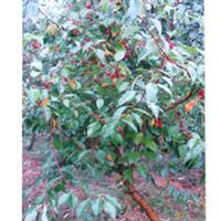 专业生产批量供应各种规格樱桃树苗质量保证