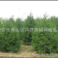 【面向全国】批发供应优质的绿化树种白皮松