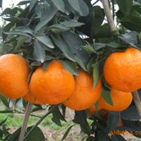 爱媛38、杂柑、柑橘