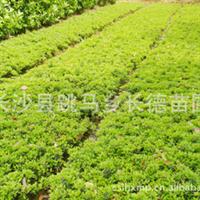 自产自销杜鹃 杜鹃小苗  用途最为广泛