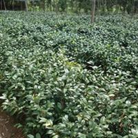 茶梅 华鸿苗圃 精品苗圃 苗木 供应多种苗木精品 量大从优
