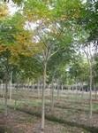 供应绿化苗木无患子(12~14cm)